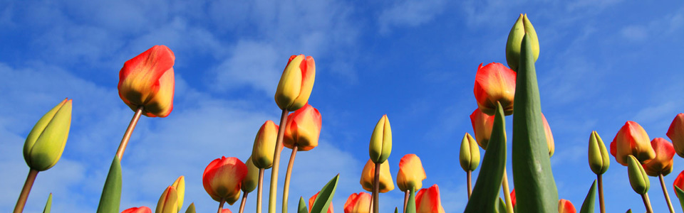 Tulip and Sky